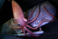 Гигантизм глаз кальмара связан с кашалотами