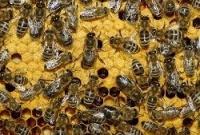 Ученые: пчелы умеют молодеть