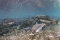 Глобальное потепление выгоняет лососёвых на нерест до срока