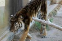 Уникальные тигры-мутанты