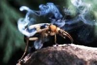 Жук-кипятильник защищается 100 градусным паром